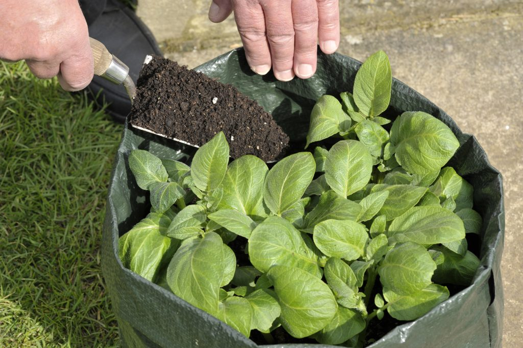 hilling up potatoes growing in a bag