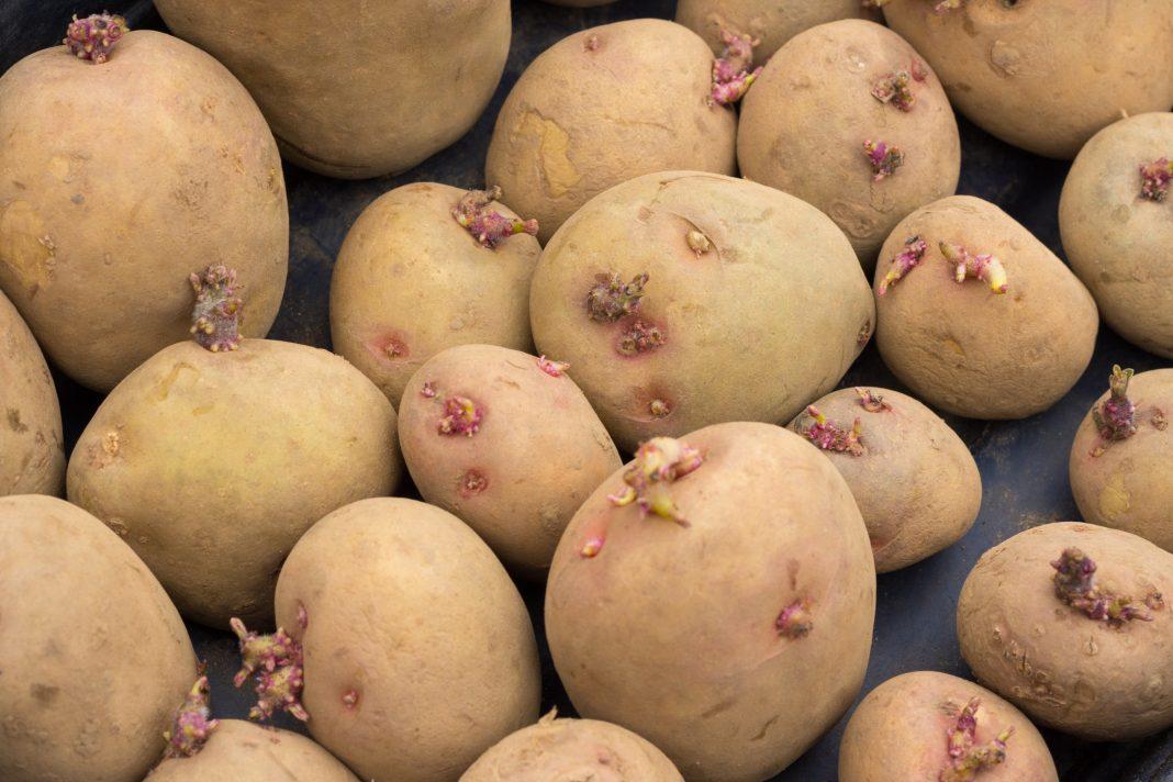 Chitting Potatoes