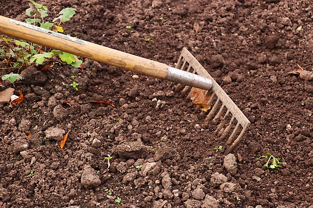 Raking wood ash into garden