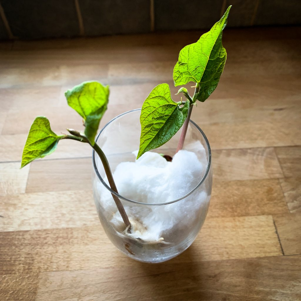 Bean plant growing in a glass