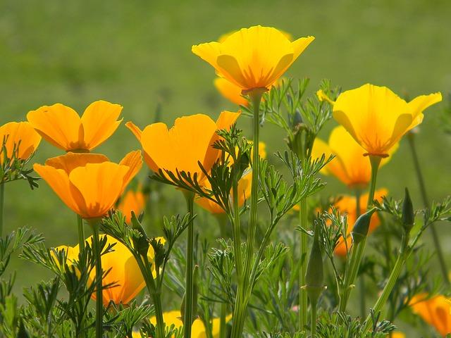 California Poppy safe plant for children