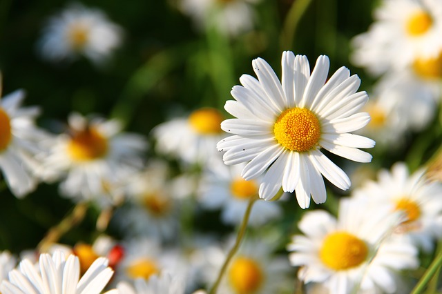 Daisies safe plants for children