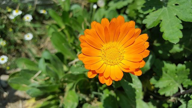Pot Marigold safe for children