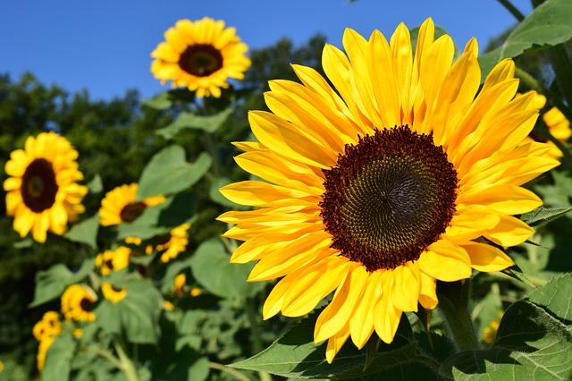 Sunflowers safe plants for children