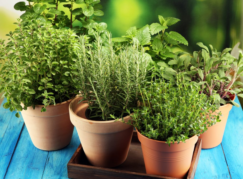 Herbs in small pots, Basil, Thyme, Rosemary, Mint