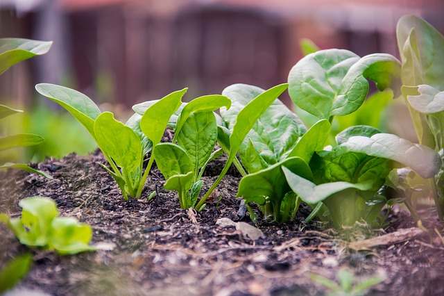 Baby spinach - growing with children