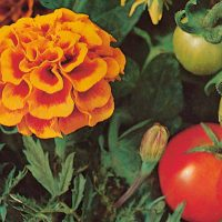 Marigold - tomato grower secret
