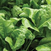 Spinach 'Perpetual' (Start-A-Garden™ Range)