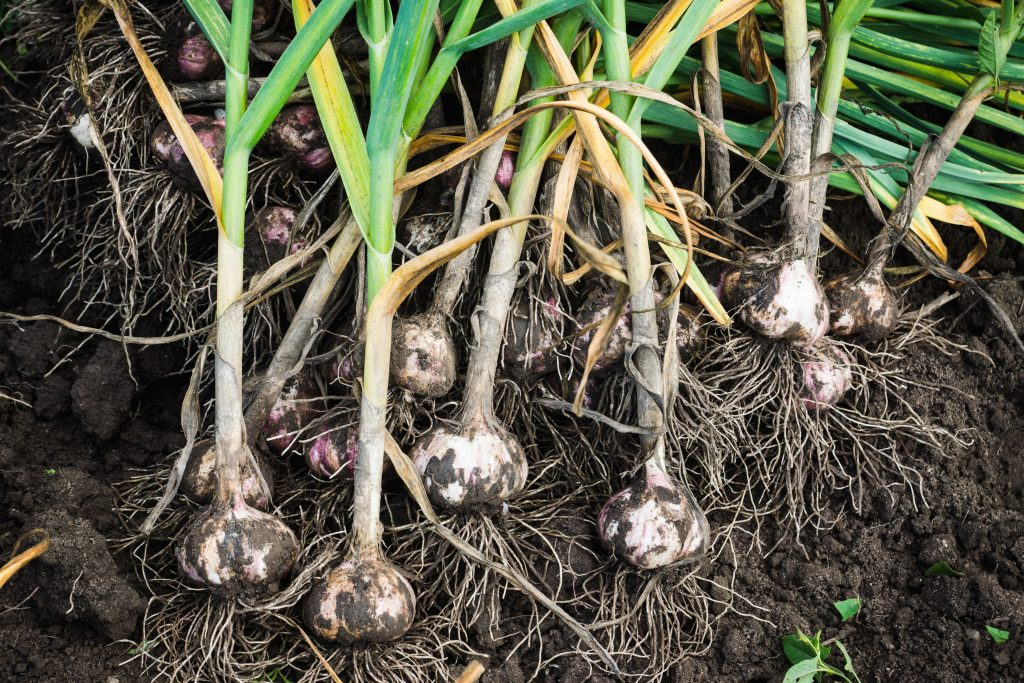 Garlic harvested in the garden