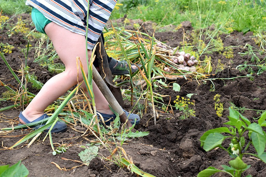 Helping to dig garlic from the garden