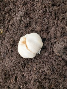 Garlic bulb for planting
