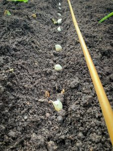 Planting garlic cloves