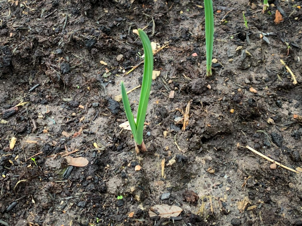 Young Garlic Shoots