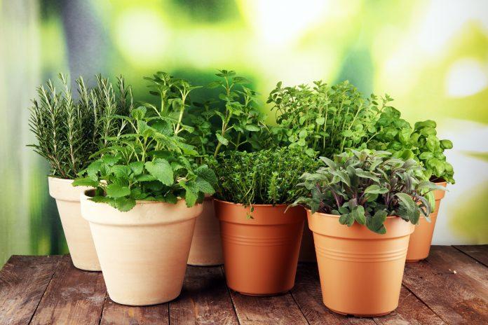 Indoor growing herbs