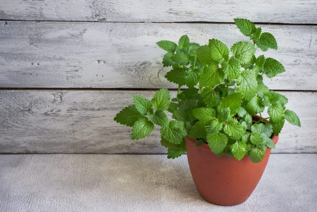 Mint in plant