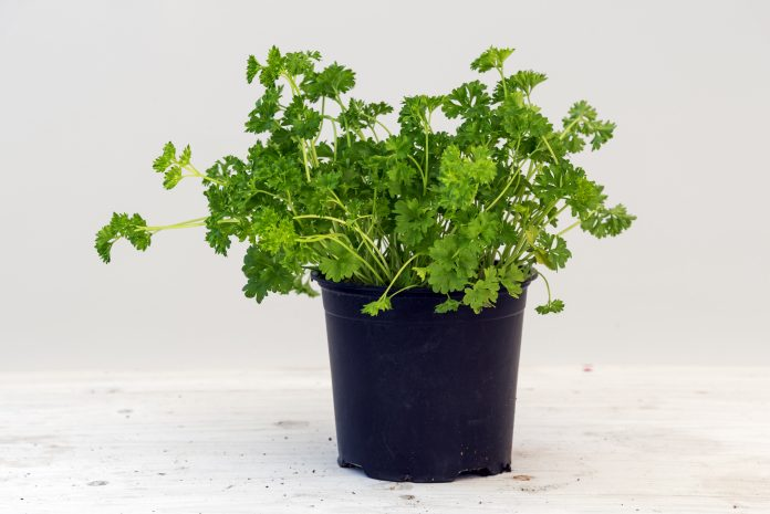 The Best Strategy To Use For What Do Parsley Seeds Look Like
