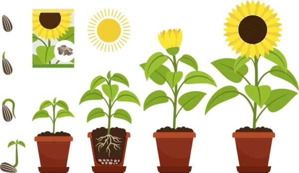 Sunflower Growing Stages