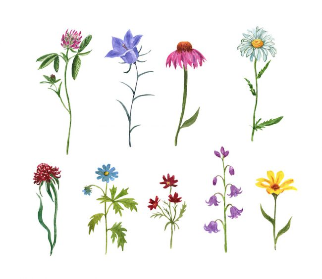Watercolor set of assorted wildflowers, isolated on white background. Meadow plants and herbs. Hand painted coneflower, bluebell, camomile, pink clover, baby cosmos.