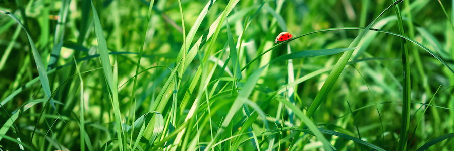 Ladybird in the grass