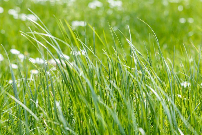 Long grass in the garden